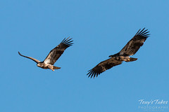 Juvenile Bald Eagles Play in the Sky Sequence - 9 of 10