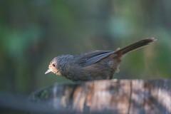 pilotbird (Pycnoptilus floccosus)-8252 (rawshorty) Tags: birds australia canberra act rawshorty