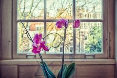 Still life with orchid and window (glukorizon) Tags: wood pink white house plant orchid flower tree green window amsterdam groen nederland boom foam huis orchidee wit centrum hdr highdynamicrange hout raam noordholland roze bloem ruit hss sliderssunday