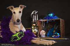 Laissez Les Bon Temps Rouler (houndstooth4) Tags: dog greyhound bunny mardigras ddc 852 52weeksfordogs dogchal day47 day47365 365the2015edition 3652015 16feb15
