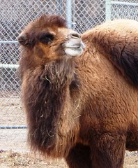 Gobi Desert Diva (atjoe1972) Tags: mike wednesday colorado desert joke bad joe denver camel denverzoo diva gobi bactrian humpday heymike atjoe1972