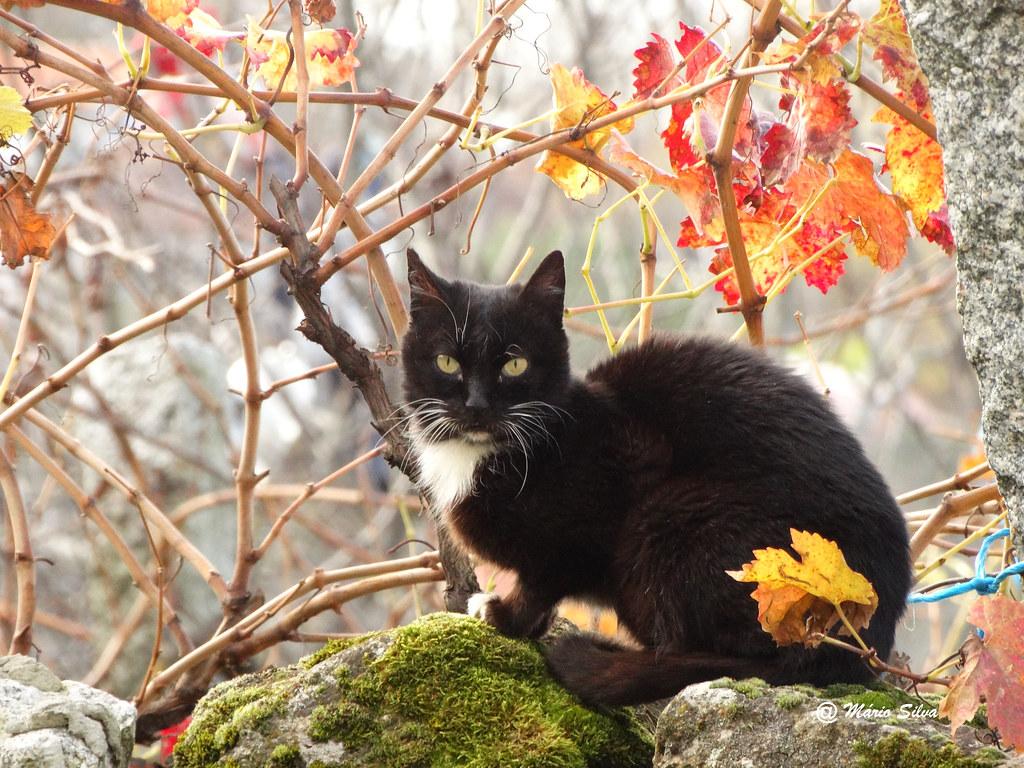 Águas Frias (Chaves) - ... o gato no meio da vides ...
