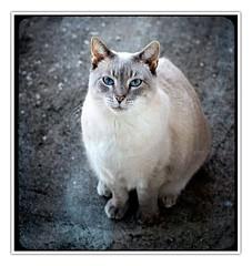 nala-stare (hodad66) Tags: cat feline nala industar61lz sonya7r