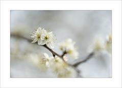 pure (Zino2009 (bob van den berg)) Tags: wild white blur holland color tree nature netherlands japan fruit spring cherries soft blossom tamron soapy creamy puur betuwe bobvandenberg zino2009