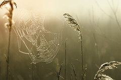 Saw it on the Web... (SimonTHGolfer) Tags: summer england nature sunrise reeds suffolk nikon warm glow web spiderweb warmth cobweb lightleaks simontalbothurnphotography