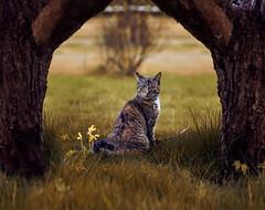 The neighbor's cat (Cyjinx) Tags: pet cat
