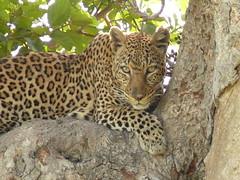 A Leopard in the Shade ! (Mara 1) Tags: africa wild tree face animal outdoors paw eyes branch kenya wildlife leopard mara masai