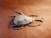 Samuraï helmet beetle mai 2016 - 2 (Rémygamiste) Tags: paper insect origami beetle fold samuraï