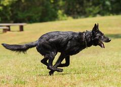 2016-05-22, IPO Training-27 (Falon167) Tags: dog shepherd german miles gsd germanshepherddog