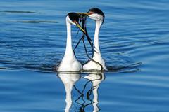 Western Grebe - Love (BernieErnieJr) Tags: bird water colorado wildlife rockymountains frontrange westerngrebe greatphotographers coloradowildlife teamsony sonya77mkii sony70400mmg2