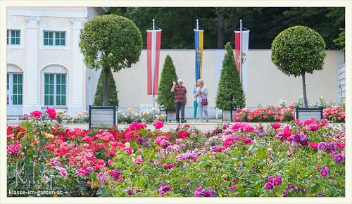 Rosarium Baden bei Wien. bodendeckerrosen vor der orangerie von Schloss Weikersdorf | 2014-06