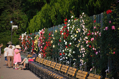20160522-D7-DS7_2563.jpg (d3_plus) Tags: park street sky plant flower nature japan garden walking drive tokyo nikon scenery bokeh fine daily bloom   nikkor   kanagawa   dailyphoto touring     thesedays  fineday  jindaiji          d700 kanagawapref nikond700