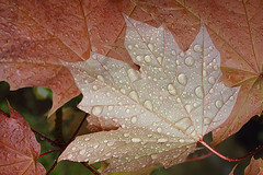 Raindrops on young maple leaves (Lord V) Tags: plant macro leaf maple