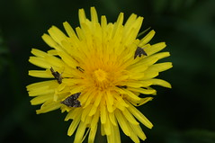 Party plant (nancy II) Tags: macro nature insect scotland fly spring wildlife may dandelion flies invertebrate taraxacum 2016