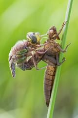 Birth of The Dragon (Prajzner) Tags: morning macro nature insect nikon naturallight manfrotto odonata insecta anisoptera sigma105mmmacro sigma105macro subcarpathia macrodreams nikond7100 manfrottomt190xpro3