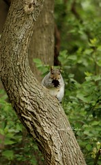 Just enjoying an evening nut (susanmbarlow) Tags: animal squirrel wildlife photograph delaware rodentia graysquirrel sciuridae sciuruscarolinensis carouselpark newcastlecounty newcastlecountypark