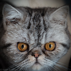 grumpy (Karen Burgoyne) Tags: orange pet cute face animal cat silver fur bigeyes eyes tabby domestic shorthair grumpy cutecat squashed
