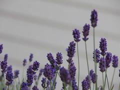 Lavendel Makro (aliko1982) Tags: blume lavanda lavendel