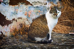 0334 Neighbor's cat II (Hrvoje Simich - gaZZda) Tags: pet cats white green beautiful beauty grass animals cat nice eyes nikon sigma150500563 nikond750 gazzda hrvojesimich