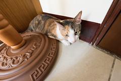 20150405-DSC_2712 (Noelas) Tags: pet cat ed momo nikon 04 g 05 taiwan mo nikkor dslr      yunlin 2015  1424 d810  nikond810 1424mm 142428 nikonnafsnikkor1424mmf28ged