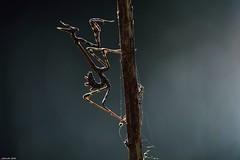 Empusa pennata (jotneb) Tags: insectos mantis natureza animais
