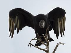 Zopilote negro / Black Vulture (Coragyps atratus) (elrayman210) Tags: blackvulture coragypsatratus zopilote carroero zopilotenegro carronero zopilotecomun