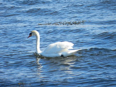 Swan, Cromarty Firth, Invergordon, May 2016 (allanmaciver) Tags: blue bird animal swan shine watch delight enjoy wait cromarty graceful firth glide invergordon allanmaciver