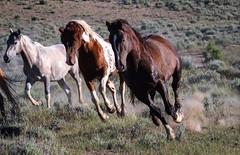 Tango and Frisky in Sand Wash Basin. (scs23_99) Tags: wildhorses sandwashbasin