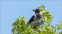 Hoodie (pstani) Tags: uk skye bird scotland hoodie crow corvid hebrides carbost hoodedcrow corvuscornix
