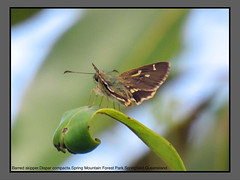 Grass-skippers (Douglas Dew butterflies) Tags: barred skipper dispar compacta