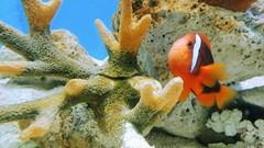 Keep swimmin' (Tin B) Tags: fish water colors underwater tank corals