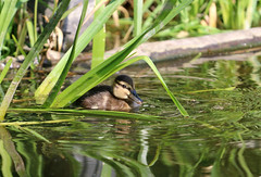 Kleine Ente (Anja van Zijl) Tags: water animal duck wasser duckling ente eend tier wasservogel entenkken