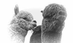 Amongst the Alpaca`s (Andy Gant) Tags: blackandwhite bw alpaca mono essex bwphotography alpacas 2016 essexyoungfarmersshow bweffect bwimages bwimagesfromaroundtheworld