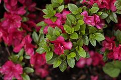 L1008724 (LaBonVampire) Tags: leica flowers nature zeiss carlzeiss zm leicam8 teletessart485 teletessar85