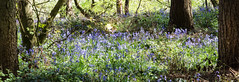 Bluebells (alanrharris53) Tags: wood flowers bluebells woodland may loughborough 2016 outwoods