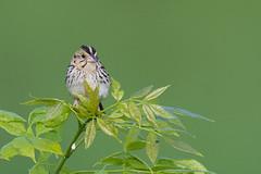 Henslow's Sparrow (J.B. Churchill) Tags: allegany birds hesp henslowssparrow maryland oldlegislativeroad places sparrowstowhees taxonomy frostburg unitedstates us