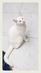 David Willow (nepenthes) Tags: cats white snow cat kitten feline kitty gatos gato felinos felines kittie heterochromia davidwillow