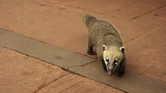 Coati in Iguazi National Park (sakhitasharma) Tags: travel latinamerica southamerica argentina animals photography wildlife wanderlust iguazu coati travelphotography iguazunationalpark sakhitasharma
