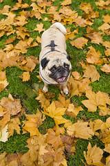 Bobby at Carlton Gardens (Kokkai Ng) Tags: autumn dog leaves pug melbourne bobby carltongardens