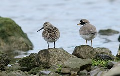 Bcasseau variable et grand Gravelot Hendaye Pyrnes Atlantiques (brigitte.reinach) Tags: dunlin calidrisalpina charadriiformes bcasseauvariable scolopacids