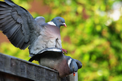 DSC_4711 Pigeons (PeaTJay) Tags: birds outdoors reading pigeon pigeons tamron berkshire gardenbirds lowerearley nikond300s