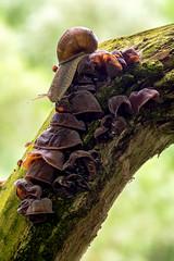 Helix pomatia Linnaeus, 1758 on Auricularia auricula-judae (Bull. : Fr.) Qul. - Burgundy snail on woodear (axel.becker73) Tags: ast branch burgundy snail helix pilz saale weinbergschnecke woodear auricularia pomatia judasohr auriculajudae zeutsch