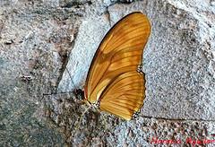 Mariposa Julia (Florin Paucke) Tags: naturaleza argentina butterfly buenosaires julia ecologa mariposas misiones insecto medioambiente butterflie biotopo flama biodiversidad biologa llanura macrofotografa barboleta dryasiulia observadores lepidptero espinal ecosistema llanurapampeana naturalistas barboletta bosqueengalera