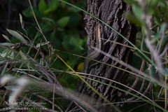 Tussock Cool-Skink (J.P. Lawrence Photography) Tags: australia 2016 reptiles victoria sauria spring squamata scincidae travel vertebrates great ocean road australia2016 greatoceanroad herp herpetology herps lacertilia lizard lizards reptile reptilia skink spring2016 squamates vertebrata vertebrate pseudemoia entrecasteauxii