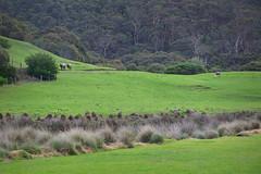 Warm Horses (ascension9studios) Tags: horses grass australia victoria greatoceanroad