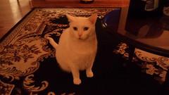 Mystic (universalcatfanatic) Tags: cats mystic white cat green eyes eye sit sitting living room livingroom carpet rug black brown tan hardwood hard wood wooden floor coffee table christmas eve