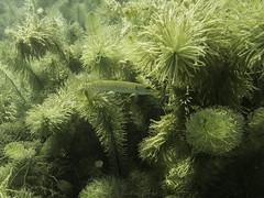 plongee auenheim-201607011040 (opa guy) Tags: allemagne leutesheimauenheim poissonfishfisch brochet underwaterdivingtauschenplonge