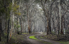 Winter's Calm (dammyc7) Tags: trees winter plants plant tree nature rain forest landscape bush flora nikon track peace outdoor fresh bark serenity bannockburn gumtrees d700 7020028vrii bannockburnbush