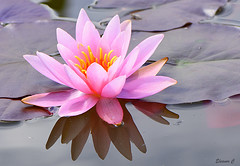 Pink in the Drink (Eleanor (No multiple invites please)) Tags: uk reflection waterlily ngc pinkflower stanmore canonspark 105mmmicrolens nikond7200 june2016