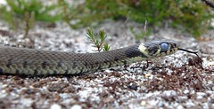 Grass Snake Male (Natrix natrix helvetica) (Nick Dobbs) Tags: grass tongue eyes reptile snake heath dorset opaque helvetica shedding heathland forked natrix